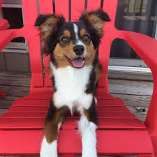 south florida australian shepherd club dog gone problems my dog doesn u0027t use potty pads during the day