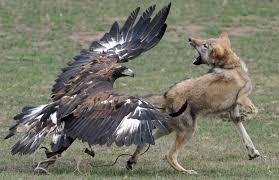 golden eagles take deer and wolves