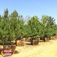 italian pine evergreen trees moon valley nurseries