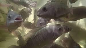 aquaponics tilapia in the fish tank youtube