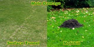 How To Hunt Squirrels In Your Backyard by How To Get Rid Of Moles In The Yard Or Lawn