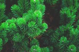 free photo pine plant tree branch needles free image on