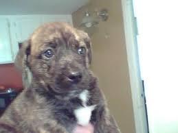 australian shepherd x pitbull how can i tell if my dog is a pit bull thriftyfun