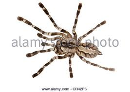 fringed ornamental tarantula poecilotheria ornata stock photo