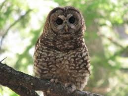spotted owls benefit from forest fire mosaic eurekalert science