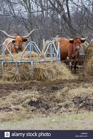 texas longhorn cow stock photos u0026 texas longhorn cow stock images