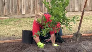 how to plant fruit trees bunnings warehouse