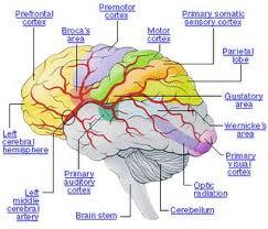 Gross Brain Anatomy Best 25 Brain Parts Ideas On Pinterest Brain Anatomy Brain