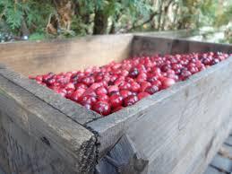 it u0027s cranberry season on cape cod