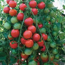 tomato u0027cherrola u0027 f1 hybrid thompson u0026 morgan