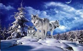 imagenes de fondo de pantalla lobos invierno lobos fondos pantalla animadosdos descarga apk gratis