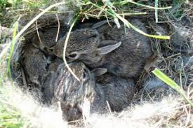 How Do I Get Rid Of Rabbits In My Backyard What To Do If You Find A Baby Rabbit In Your Yard