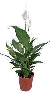 plante pour chambre je mets quelle plante dans ma chambre tendances déco déco