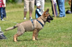 belgian shepherd how to train training how early is too early to start