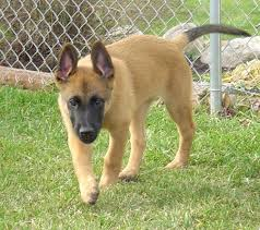 belgian shepherd labrador retriever mix belgian malinois puppies learn stalking behavior early on they