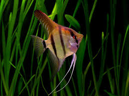 beautiful maanvis pictures fish tropical
