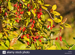 simply edible edible berries branch european barberry or simply barberry