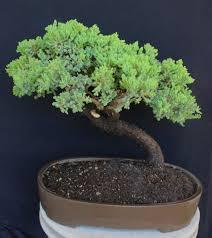 procumbens nana juniper cloud style specimen bonsai tree u2013 house