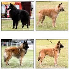 belgian sheepdog varieties belgian shepherd dog club of queensland inc home