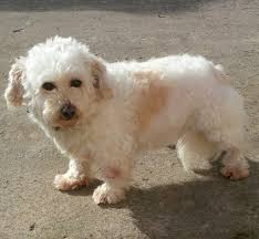 bichon frise 17 years old 3 and half years old bichon frise x shih tzu in frampton