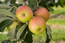the five easiest fruit trees to grow the english garden