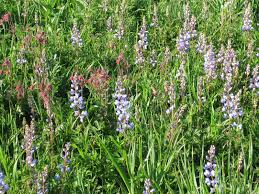 wild ones native plants think global garden local may 2014