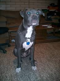 2 month old american pitbull terrier growth rate pitbulls go pitbull dog forums