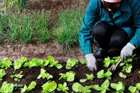 Fall Vegetables Garden by Zone 6 Fall Vegetable Planting U2013 Tips On Planting Fall Gardens In