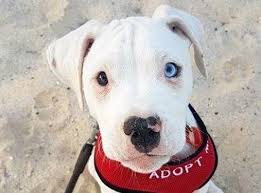 american pitbull terrier dalmatian mix pair of puppies searching for forever homes sunshine coast daily