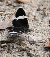 what is this black moth or butterfly with the wide white stripe on