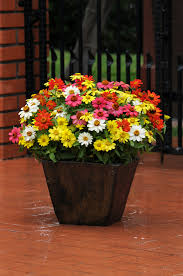 Container Gardening Flowers Zinnia Zahara Series Creates A Colorful Pot Patio Pots And