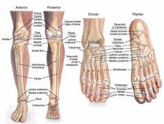 Skeletal Picture Of Foot Tarsal Ankle Bones Learn More About Its Uses And Functions Of