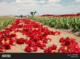 farmers work on tulip field tulip image u0026 photo bigstock
