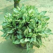 indoor plants india indoor plants areca palm araucona coocki aglo nema species suppliers