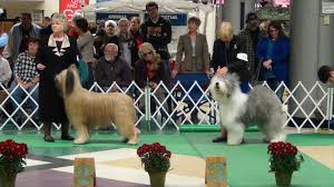 briard and english sheepdog jpg