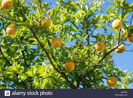 ornamental fruit trees stock photos ornamental fruit trees stock