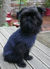 affenpinscher judging list best 25 chihuahua mini toy ideas on pinterest perros chihuahua