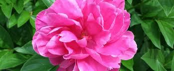 Peony Flowers by Indiana State Flower Peony Proflowers Blog