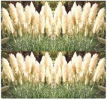 white pampas grass seeds ornamental decor perennial in