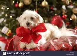 christmas tree dog gift bow series christmas animal mammal pet