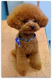 haircutsfordogs poodlemix 14 best poodle cuts images on pinterest poodle cuts poodles and