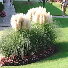 erianthus ravennae a fast growing a seriously grass reaching