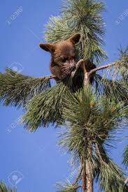 small brown cub climbing a pine tree with a blue sky