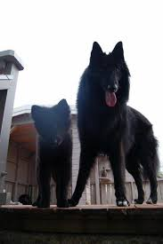 belgian sheepdog groenendael breeder belgian shepherd dogs home facebook