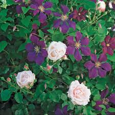 dawn and dusk rose u0026 clematis collection clematis dry garden