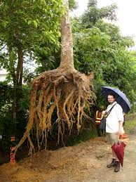 how do tree roots really grow deeproot