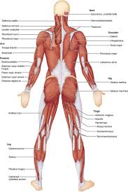 16 best anatomy images on pinterest anatomy human anatomy and