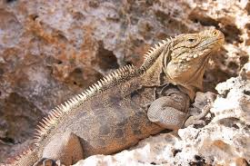 Seeking Lizard Episode Cyclura Nubila