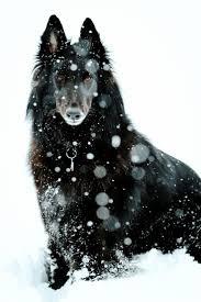 belgian sheepdog price 119 best belgian tervuren sheep dog images on pinterest sheep