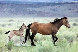 mustang horse high sierra pack trips horseback riding mule packing john muir